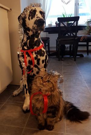 104) Lussekatten Nisse och hans kompis Minna. Detta är förra årets försökt att ta en fin bild till lucia. Ett omöjligt uppdrag då hunden mest ser plågad ut när kameran kommer fram och katten tyckte det var roligast att leka med glittret. Efter en låååång stund blev detta den bästa bilden på katten iaf. Foto: Magdalena Lönngren