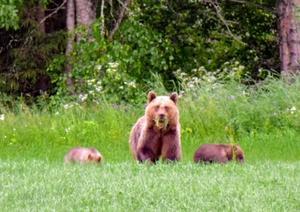 Björnmamma övervakar ungarnas betande.