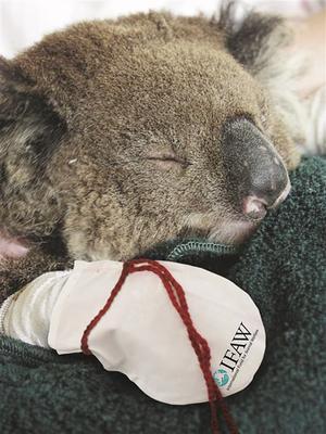 En koala har brännskadat sin tass svårt under de stora skogsbränderna i Australien. Foto: IFAW / handout