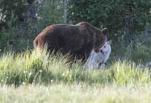 Håkan Karlsson har fotograferat björn och varg i nordöstra Finland Det som syns framför vargen är delar av åteln. Bild: Håkan Karlsson