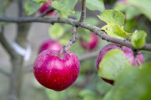 Från planta till färdiga äpplen kan det ta lång tid. Foto: Christine Olsson / TT