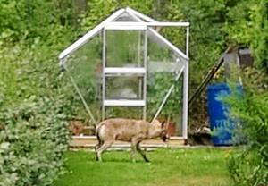 Den vargtik som i somras sågs i bostadsområden i Kolsva flera gånger, och även vid Malmaskolan, fångades på bild i en villaträdgård. Foto: Läsarbild
