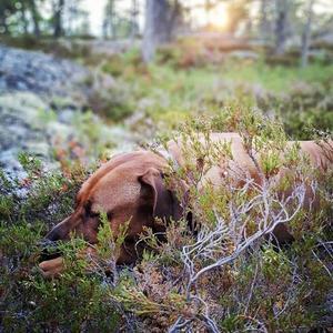 När pappas gråhund gått bort och min systers man föreslår sin Rhodesian ridgeback, som är otroligt skogsvan, som sällskap. Foto: Lizette Wedin