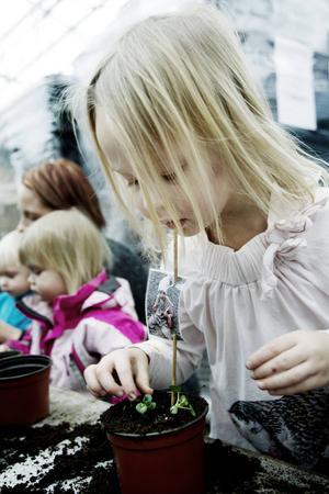 Yngsta generationen Erlandsson planterar också blommor.