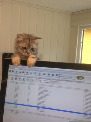 187) Katten Silver som undrar varför matte är så intresserad av dataskärmen istället för honom! Foto: Hjördis