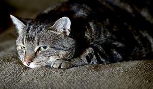 En man döms för att ha tagit med sig en grannes katt hem. Det var en tam bondkatt. Katten på bilden är en genrebild och har inget med händelsen att göra.