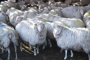 Fåren på bilden är inte de får som har setts vid Tveta återvinningscentral.