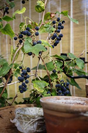 I växthuset växer vindruvor.