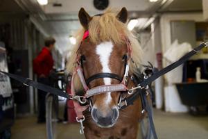 Hästen Holly var yngst bland ponnyerna med sina sju år.