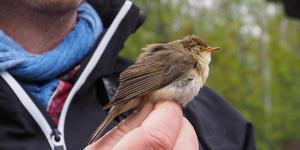 En av de lövsångare som fångades in vid Ljusnan i Sveg, för att efter märkning och provtagning släppas fria.