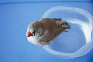 Zebrafinken, som visade sig vara en hona vid namn Piff, är nu hemma igen.