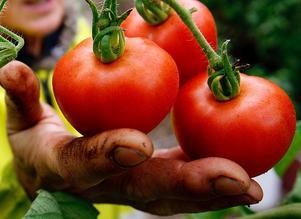 I mitten av januari är målet att de närodlade tomaterna ska finnas i handeln.