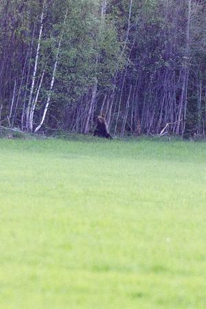 Björnen hölls sig mest vid skogskanten.