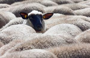 Trots svenskens aldrig sinande kokboks- och matintresse verkar medvetenheten om svensk köttproduktions förträfflighet inte få fäste när prisfaktorn avgör, skriver debattörerna.