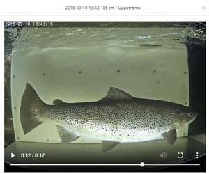 Bilden är ett skärmklipp från fiskdata.se (en kamera som filmar fiskar som passerar) och visar en öring som lekvandrat från Hennan till en mindre å i Ljusdals kommun.