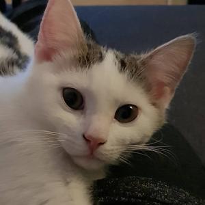 338) Saras katt Douglas 1 år Foto: Elisabeth Stålhammar