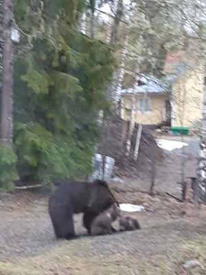 Ingrid Fredlund fångade tidigare de nu skjutna björnarna på bild. En hona med två årsungar. Foto: Ingrid Fredlund
