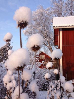 Bolltistel med luva. Foto: Göran Greider.