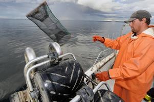 Yrkesfiskaren Anders Carlén fiskar kräftor i Vättern.