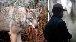 Enligt beräkningar från Naturvårdsverket skjuts drygt 50 vargar illegalt varje år. Nu måste politikerna ta dessa lagbrott på allvar, menar Daniel Ekblom. Bilder: Anki Haglund / Fredrik Sandberg/TT