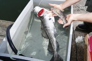 – Så här små är de flesta torskar i södra Östersjön, säger forskare Ulf Bergström och håller upp en liten fisk. Så stor torsk som den i baljan, hittar man i princip bara i Ålands hav.
