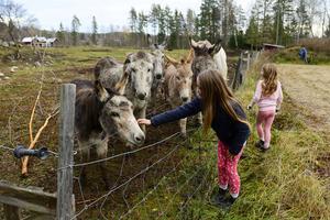 Nu finns det sammanlagt sju åsnor på gården i Fränsta.