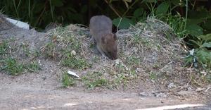En råtta letar mat. Foto: Leif Granlind