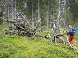 Många har skogen som rekreation. Här en man på jakt efter svamp. Foto: Gorm Kallestad / NTB scanpix / TT