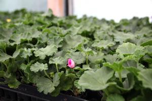 """Pelargoner på tillväxt. """"Den här ska nypas bort, då blir plantorna kraftigare"""", säger Janne Bohlin och stryker den rosa blomman med fingret."""
