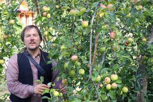 Så här års dignar trädgården av frukt. Här mognar den gamla äppelsorten Sävstaholm.