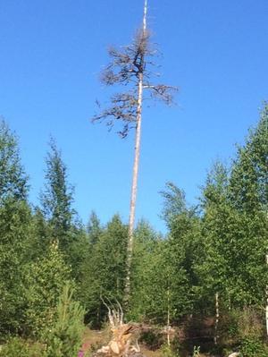 Riktmärket så man inte går vilse i lingonskogen, Änga, Järvsö.