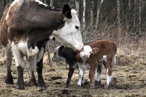 Mamma ko är van att ta hand om kalvar. Risken finns att kon bara tar hand om en av kalvarna och stöter bort den andra. Men inte här som synes.