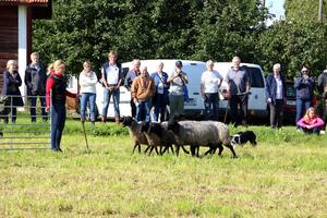 Jenny Klingborg släpper in fåren i den lilla hagen. Vallhunden Neem har fullgjort sin uppgift.