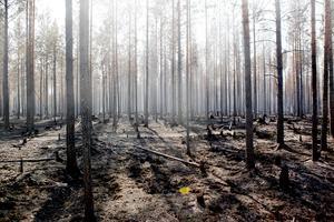 Brandskadad skog längs med vägen mellan Kårböle och Lassekrog i Gävleborgs län.