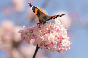 Amiralfjärilen hör till de fjärilar som i vissa områden flyttar söderut. Foto: TT
