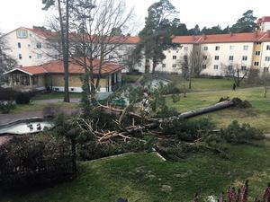 Träd har blåst omkull på Krumelurens (Narvavägen) innergård, berättar  Ingegerd Blom.
