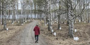 Många vita dunkar i björkskogen när säven flödar.