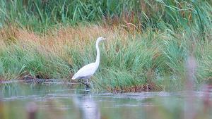 Ägretthäger i Sundsvik. Det är en av de fågelarter som nyligen har kommit till Sverige.