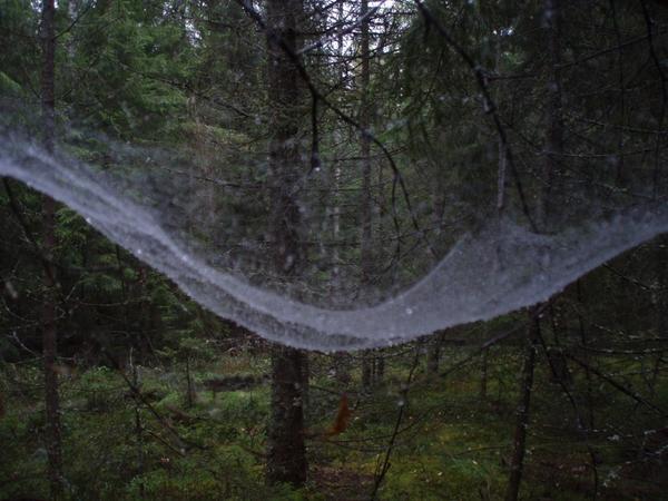 Mitt i svampskogen hängde spindelnätet mellan ett par granar