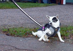 Ganne måste ut och promenera minst två gånger varje dag, oavsett väder. Då och då måste han dock vila bakbenen då träningen tar på krafterna.