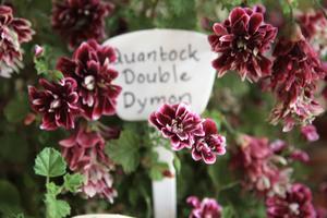 Quantock Double Dynom är en av de fyra som konkurrerade om en första plats i tävlingen om finast pelargon.
