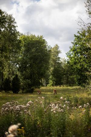 I hagarna kring spåret betar kossor och hästar galopperar.