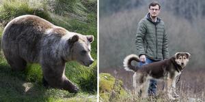 Elias Eriksson och hans hund Lexie, blev överraskade en kväll när de gick ut för en kvällspromenad. Observera att björnen på bilden inte är den som besökte Elias. Foto: Berit Roald/TT/ Ida Forsgren