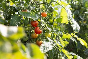 I Anders Perssons två stora växthus odlar han egna grönsaker.