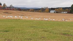 Ett  antal fåglar har vid middagstid samlats för att lägga upp färdriktningen, kanske....