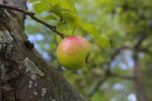 Det är gott om äpplen i år i Södertäljetrakten trots värme och torka.