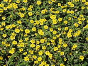 Gladgula husarknappar. Fröfirman Impecta ser att gult ökar i popularitet och plockar fram Sanvitalia Million Suns som tänkbar sommarfröjd.