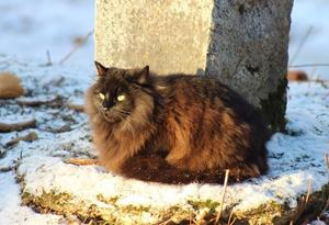 319) Vår katt Pucko 5 år ligger ute och myser i trädgården en kylig och solig dag. Vi bor i Strand/Stråtjära. Foto: Marie Nymark