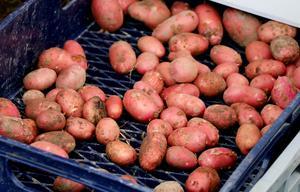 Höstens potatisskörd gick åt som smör i solsken.