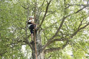 Edvin Nordlander, 12 år,  klättrade högt upp i björken.